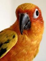 Sun Parakeet clipart
