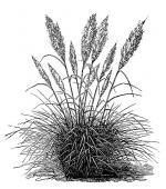 Pampas Grass clipart