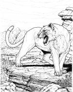 Cougar coloring