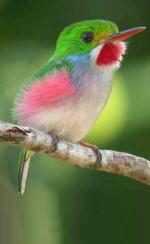 Cuban Tody coloring