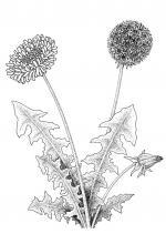 Dandelion coloring