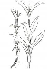 Dianthus coloring