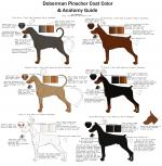German Pinscher coloring