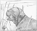 Dogue De Bordeaux coloring