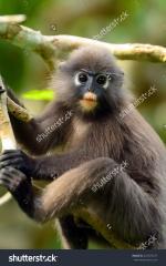 Dusky Leaf Monkey clipart