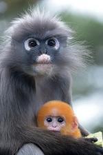 Dusky Leaf Monkey coloring