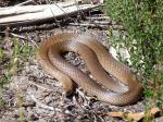 Brown Tree Snake coloring