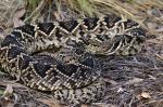 Eastern Diamondback Rattlesnake coloring