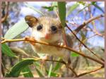 Eastern Pygmy Possum coloring