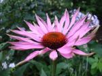 Echinacea svg