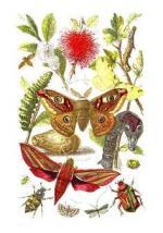 Elephant Hawk-moth clipart
