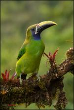 Emerald Toucanet coloring