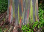 Eucalyptus Gum Tree coloring