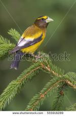 Evening Grosbeak clipart