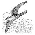 Prairie Falcon coloring