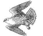 Peregrine Falcon coloring