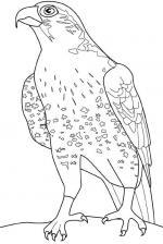Falcon coloring