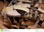 Gaboon Viper clipart