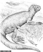 Galapagos Land Iguana coloring