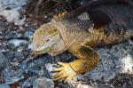 Galapagos Land Iguana svg