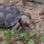 Gal#U00e1pagos Tortoise svg