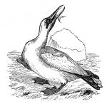 Gannets coloring
