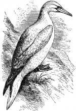 Gannet clipart
