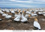 Gannets clipart