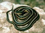 Garter Snake svg