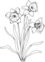Gladiolus coloring