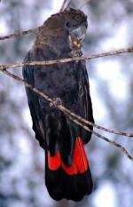 Glossy Black Cockatoo clipart