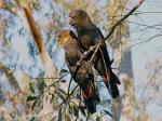 Glossy Black Cockatoo coloring