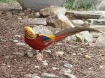Golden Pheasant svg