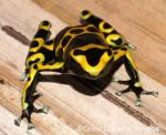 Golden Poison Frog svg