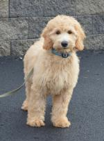 Goldendoodle coloring