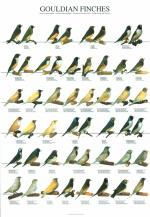 Gouldian Finch coloring