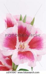 Grandiflora clipart