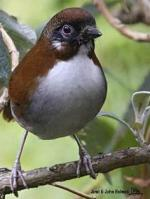 Gray-sided Laughing Thrush coloring