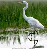 Great Egrets clipart
