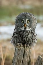 Great Gray Owl clipart