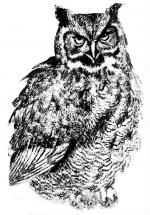 Great Grey Owl clipart