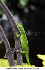 Green Anole clipart