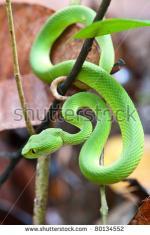 Green Pit Viper coloring