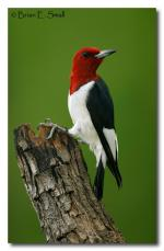 Green-barred Woodpecker clipart