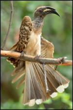 Grey Hornbill coloring