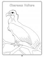 Griffon Vulture coloring