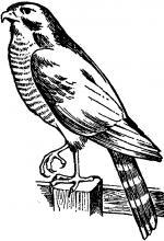 Sparrowhawk clipart