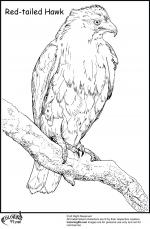 Harris Hawk coloring