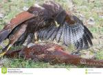 Harris's Hawk clipart