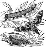 Hawk Moth clipart